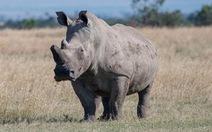 Hình ảnh trước lúc chết của chú tê giác trắng châu Phi đực cuối cùng