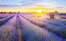 Đi tìm giấc mơ màu tím Lavender