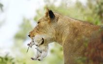 Phát hiện sư tử bạch tạng cực hiếm