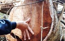 Cận cảnh rừng lim xanh bị lâm tặc 'xẻ thịt'