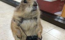 Tặng quà 8-3 bằng bọ ú, chuột hamster, thỏ, sóc... mới 'chất'
