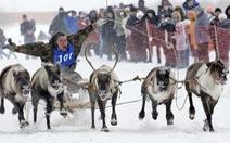 Độc đáo đua tuần lộc tại Siberia