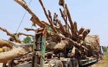 3 cây 'siêu khủng' được cắt bớt chuẩn bị chuyển đi Hà Nội