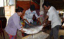Một ngư dân bắt được cá sủ vàng lớn, thương lái trả cả tỉ đồng