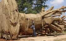 Chưa đủ cơ sở khẳng định có 'bảo kê' chở cây 'siêu khủng'