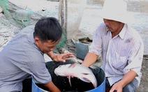Nông dân miền Tây trúng đậm nhờ 'lén lút' nuôi cá hô