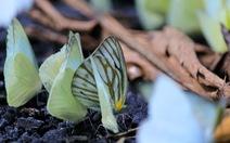 Tháng 4, đến rừng Cúc Phương 'săn bướm'