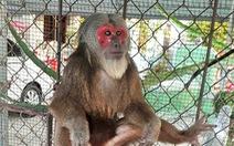 Thả khỉ mặt đỏ quý hiếm về tự nhiên sau 17 năm nuôi nhốt