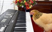 Ngạc nhiên chưa: Một 'cô gà' biết chơi đàn