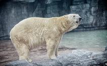 Gấu Bắc cực duy nhất sinh ở vùng nhiệt đới qua đời