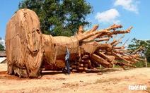 1 trong 3 cây 'khủng' có nguồn gốc từ Krông Năng, Đắk Lắk