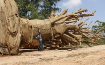 Cây 'siêu khủng' được chở đi Hà Nội để làm quà tặng