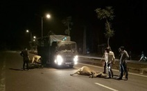 Thêm một người nhập viện vì tông bò thả rông ở Phú Quốc