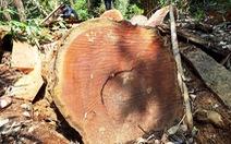 Quảng Nam yêu cầu làm rõ các cơ sở cưa xẻ gỗ có người thân 'làm quan'