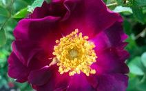 Sắp có hoa hồng 'không héo', tỏa hương lâu hơn?