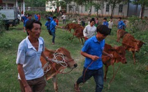 Báo Tuổi Trẻ tặng bà con vùng lũ Sơn La 30 con bò giống