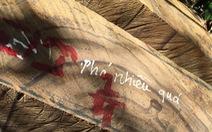Rừng phòng hộ Sông Kôn bị cưa đổ ngay sát nách kiểm lâm