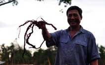 Cục trồng trọt lên tiếng về việc gom rễ tiêu bán sang Trung Quốc