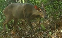 Công bố ảnh loài mang lớn quý hiếm ở Quảng Nam