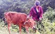 Nộp hơn 4 triệu, hộ nghèo được hỗ trợ bò… lở mồm long móng?