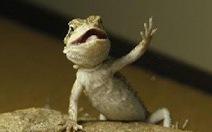 Clip rồng Úc vẫy tay, vẹt cười khúc khích