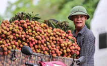 Vải Lục Ngạn đầu mùa đã rớt giá, chỉ còn 6.000-8.000đ/kg