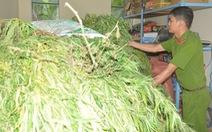 Hậu Giang phát hiện hàng trăm cây cần sa trồng trong vườn nhà dân