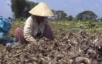 Doanh nghiệp hứa mua khoai môn cho nông dân bằng 40% hợp đồng