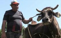 Vượt biên trái phép, bò bị EU tuyên án tử hình