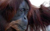 Đười ươi Sumatra sống thọ nhất thế giới qua đời ở tuổi 62