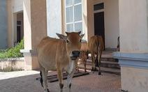 Trụ sở xã, trường học xây 33 tỉ bỏ hoang cho... bò trú nắng