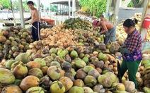 Trung Quốc ngưng mua, giá dừa từ 175.000 đồng còn 40.000/chục