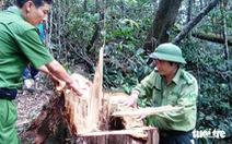 Xét xử phó đồn trưởng biên phòng 'đạo diễn' phá rừng pơmu