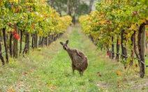 Rượu vang Úc khóc ròng vì Trung Quốc chơi chiêu trả đũa