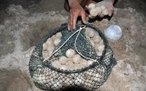 Vích Indonesia 'vượt biên' đến Côn Đảo đẻ 92 trứng