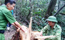 Đại úy phá rừng pơmu nhận án cao hơn đề nghị