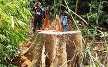 Truy nã 2 nghi can cầm đầu phá rừng lim xanh Quảng Nam
