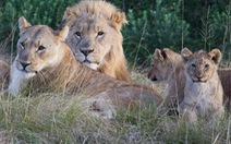 Định cắt sừng tê giác, 3 tên săn trộm bị sư tử ăn thịt