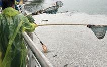 Cá chết nổi trắng hồ Tây do thay đổi thời tiết?