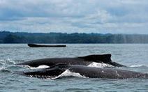 Colombia bắt đầu mùa du lịch độc đáo ngắm cá voi lưng gù