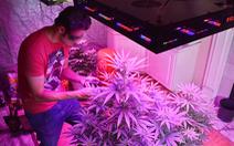 Liều lĩnh trồng cần sa trong nhà