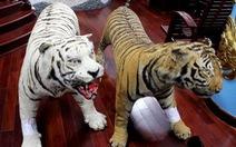 Bị tạm giam vì giữ 2 bộ da hổ