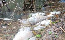 Cá chết nổi trắng sông, vịt ăn cá cũng lăn ra chết