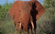 Đón năm mới, Trung Quốc cấm tiệt ngà voi