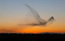 Kinh ngạc vũ điệu chim sáo đá 'triệu ảnh có một'