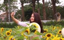 Vườn hoa mặt trời 2.000m2 khoe sắc giữa thủ đô