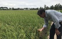 Lúa thơm ST24 được giá 7.000 đồng/kg