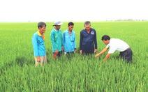 Trồng lúa trên đồng sạch