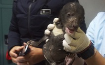 Giải cứu hai bé gấu ngựa đang bị rao bán