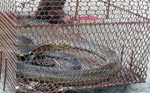 Mua rắn làm mồi nhậu, phát hiện hổ mang chúa nên giao kiểm lâm thả về rừng